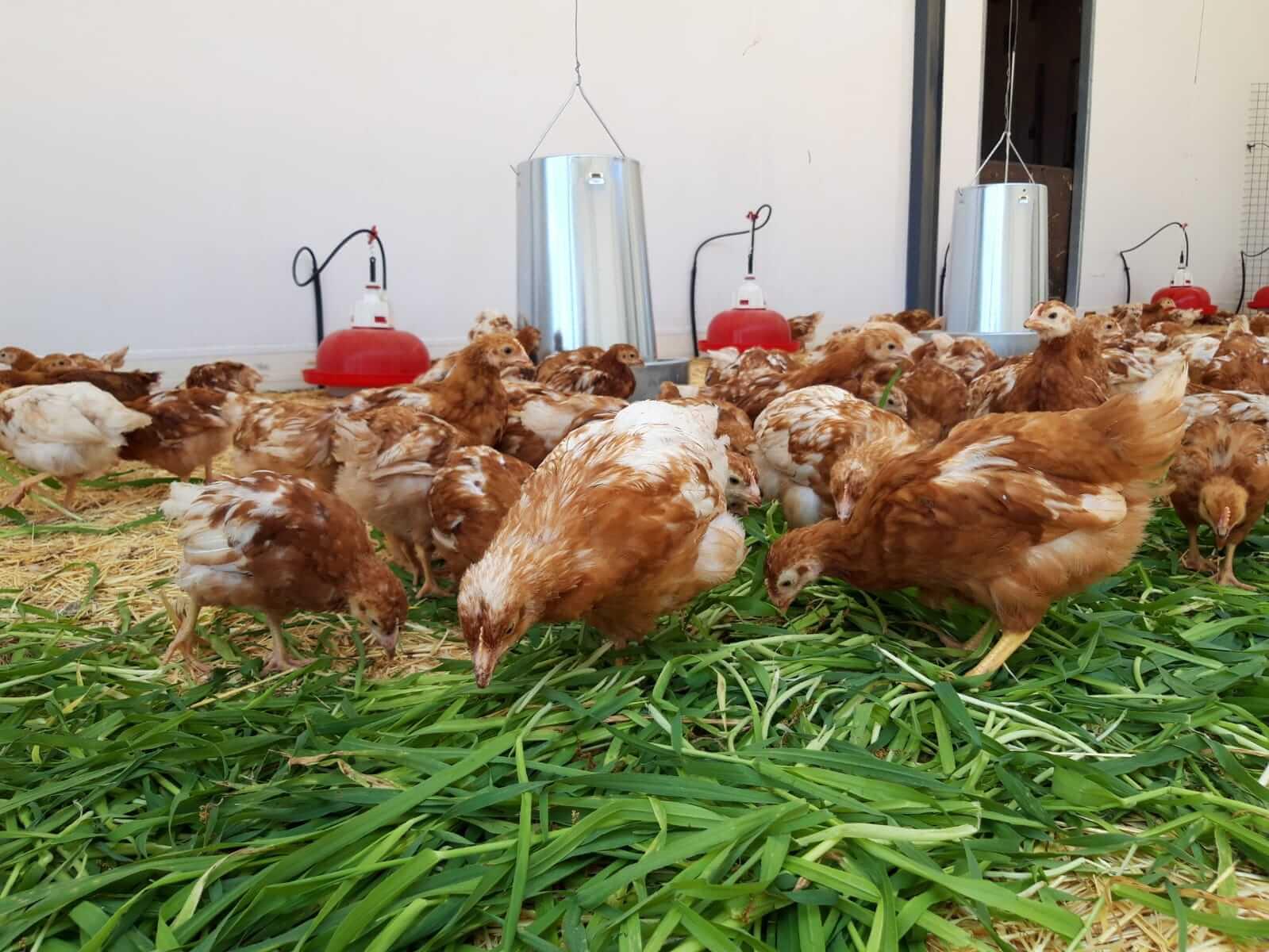 gallinas_comiendo_hierba_en_la_granja_ecologica_villada